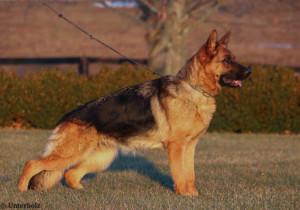 For Sale – Drache Feld German Shepherds