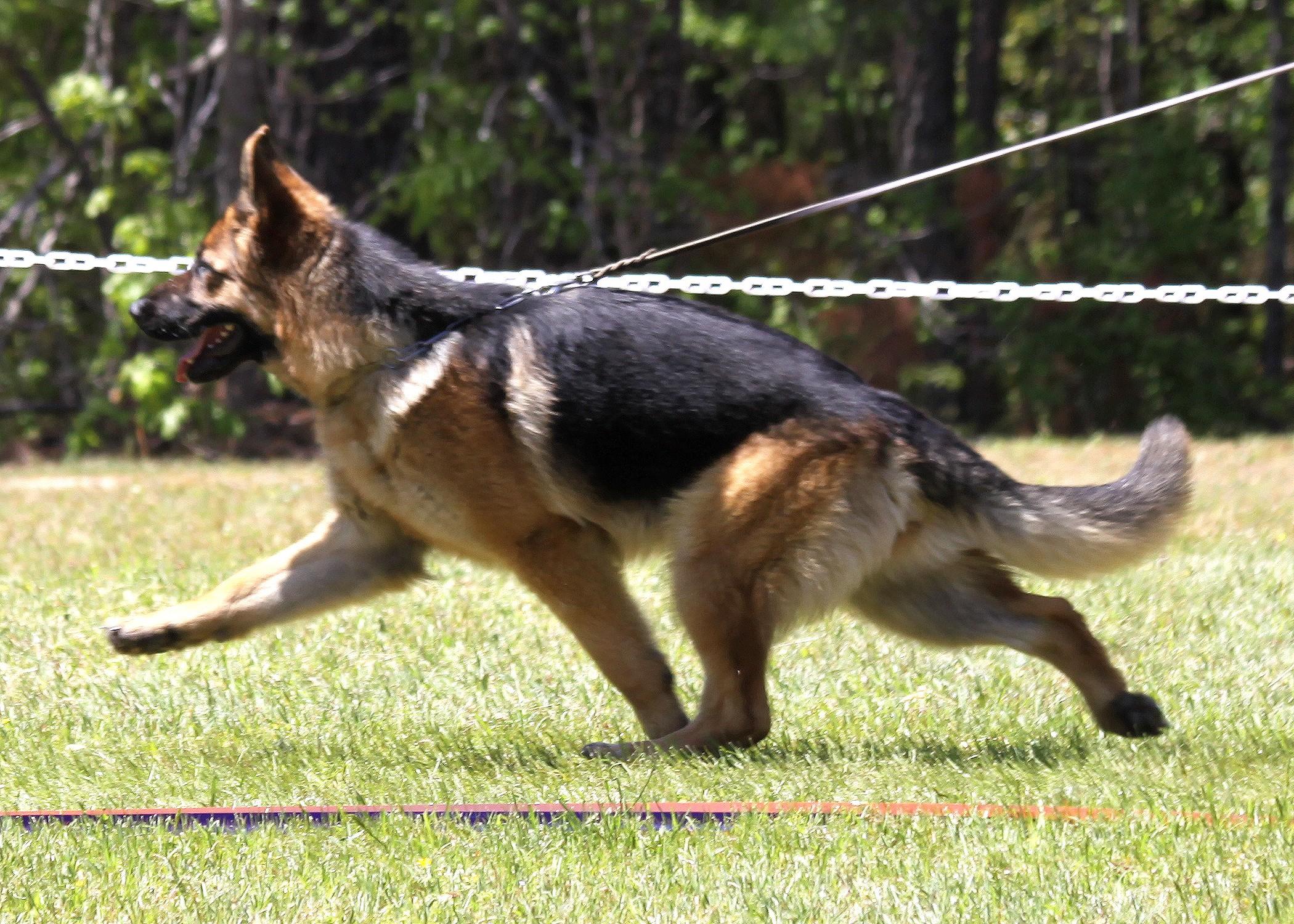 Drache Feld German Shepherds German Shepherd Breeders